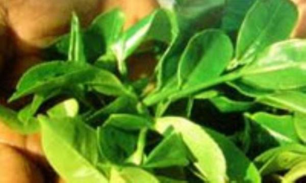 موقع خوردن چای سبز